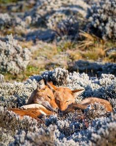 pair of Ethiopian wolves snuggling on a chilly morning in the Bale Mountains. Nature Animals, Animals And Pets, Beautiful Creatures, Animals Beautiful, Ethiopian Wolf, Photo Vintage, Cute Fox, Tier Fotos, Baby Animals