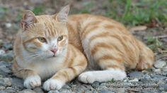 Listado de Razas de Perros y Gatos. Todos los tipos...: Raza de Gato Bobtail Japones (Japanese Bobtail Cat...