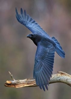 "thalassarche: "" Common Raven (Corvus corax) - photo by Eugenijus Kavaliauskas """