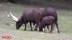 Ankole Watusi vaca que luchan para salvar a su familia
