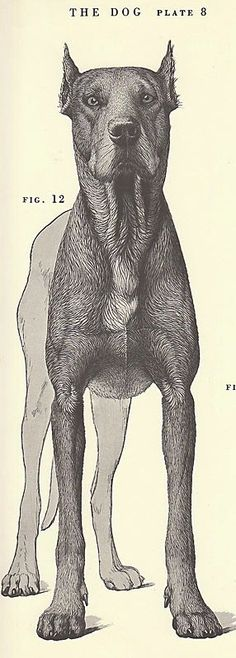 Vintage dog anatomy drawing