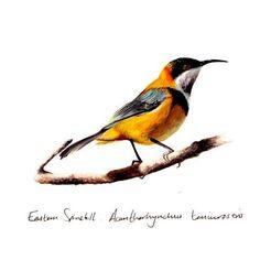 Australian Eastern Spinebill : Gift Card: Greeting Card $5.99