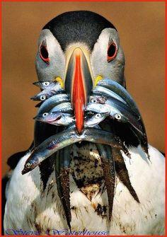 Интересные факты об Атлантическом Тупике.... Морская птица — атлантический тупик или как его еще называют, морской попугай, в период размножения (июнь-июль) меняет цвет своих лап с ластами и плоского ...