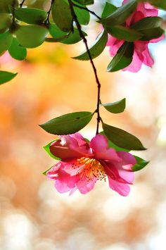 ~~Camellia Sasanqua by myu-myu~~