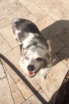 REUNITED WITH FAMILY  #Founddog  #Wellborn #FL #SuwanneeCounty #AustralianShepherd Microchip - KY JUSTIN RONSONET FULFORD AUSTRALIAN  SHEPHERDS LOST AND FOUND USA https://www.facebook.com/AustralianShepherdsLostAndFoundUsa/posts/648590188582783