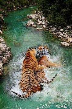 Beautiful Cats, Animals Beautiful, Animals And Pets, Cute Animals, Wild Animals, Gato Grande, Siberian Tiger, Tier Fotos, Big Cats
