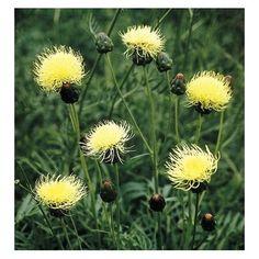 Afbeeldingsresultaat voor Centaurea ruthenica