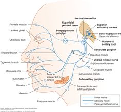 For anatomy of the facial nerve