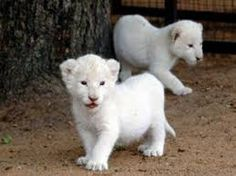 Rare White Lion Triplets Born In Poland. Well the third one is hiding somewhere.