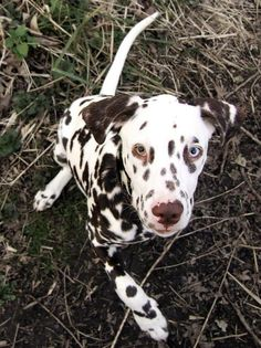 A Dalmatian with one blue eye and one brown eye. Reminds me of our Happie. I sure do miss him!