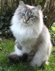 Gato siberiano.