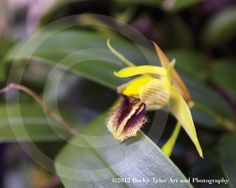 Tiny Yellow Orchid Fine Art Photo Print by BeckyTylerArt on Etsy, $20.00