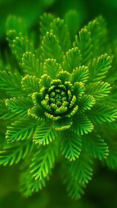 Algae Plant Macro Close Up #iPhone #6 #wallpaper
