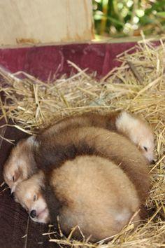 Rare Red Panda Triplets Born at Hamilton Zoo. See the photos and videos at ZooBorns: http://www.zooborns.com/zooborns/2013/02/rare-red-panda-triplets-born-at-hamilton-zoo.html