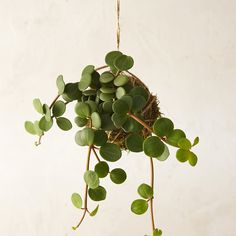Peperomia String Garden in New Garden at Terrain. want this - cool plant, PLUS it would inevitably be called the pepperoni plant