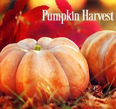 PUMPKIN HARVEST Fragrance Oil - A crazy strong, super scent for Fall and holidays!  This oil incorporates a blend of cinnamon and cloves, with fresh pumpkin and just a hint of apples and an wonderful earthy undertone.  Top notes of cinnamon and clove; Middle notes of cinnamon Leaf and bottom notes of sweet vanilla and musk.  Excellent in soy and safe for bath and body PHTHALATE FREE 200 Degree FP Vanillin Content - 4.0%  Vegan Friendly  The majority&