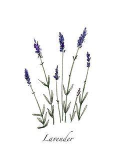 lavender line drawing - Αναζήτηση Google