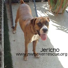 Jericho is a 1 year old brindle boy being fostered in Seattle WA. Find out more about him on our website - www.nwboxerrescue.org or our Facebook page - www.facebook.com/northwestboxerrescue