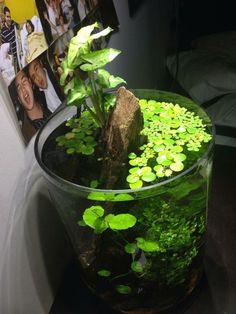 Ideas for a 4 gallon vase shrimp tank? - Page 2 - The Planted Tank Forum Aquarium Garden, Nano Aquarium, Aquarium Design, Planted Aquarium, Aquarium Fish, Fish Tank Terrarium, Water Terrarium, Vase Fish Tank, Cactus Terrarium