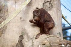 Kumar, the Thinker... Oregon Zoo