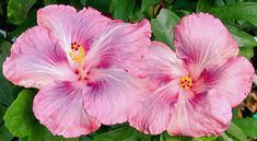 Hibiscus 'Spring Showers'. One of my favorite