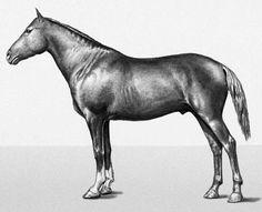 Megrel / Mingrelian horse. Тюркские породы лошадей. More in http://vseokone.ru/megrelskaya-poroda-loshadej.html