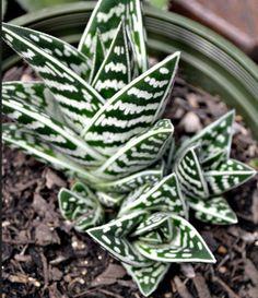 Aloe Variegata (Pheasant Breast Aloe or Tiger Aloe ...