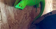 Taggecko | Tiere | Pinterest