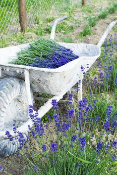 Levendula virágzás és szüret 2015 Lavender Soap, Bird, Purple, Outdoor Decor, Birds, Viola