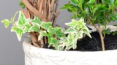 Miniature Variegated Ivy – Planter Perfection