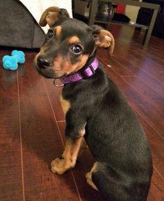 Pita the Labrador Mix -- Puppy Breed: Doberman Pinscher / Labrador ...