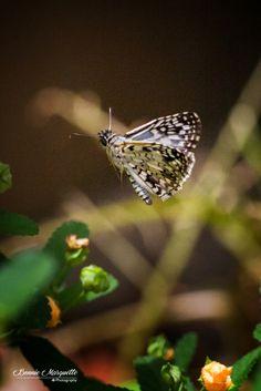 Chiasmia Butterfly