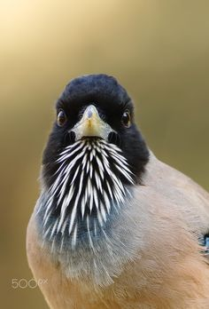 """Angry look - (Black headed Jay ) See in Full size  You May Follow me  at 