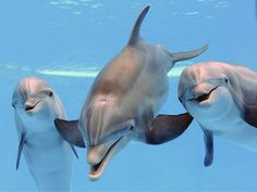 Dolphins recognize the whistles of old friends (and foes) after decades