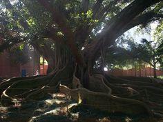 figueira do parque celso daniel em santo andré - antes -Abaixo, fotos da figueira centenária antes da poda que a matou: