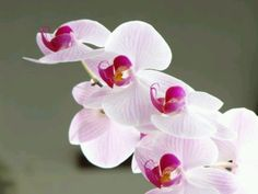 Orchid xx