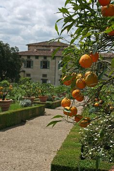 Villa Medici di Castello, Tuscany, Italy -- Fresh oranges for breakfast or snack to take a break from the writing.