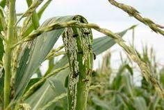 Los adultos también se alimentan de las hojas y del polen Asparagus, Vegetables, Leaves, Studs, Vegetable Recipes, Veggies
