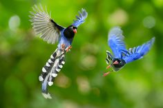 """The Taiwan blue magpie, also called the Taiwan magpie or Formosan blue magpie or the """"long-tailed mountain lady"""", is a member of the Crow family. It is an endemic species living in the mountains of Taiwan at elevations of 300 to 1200m"""