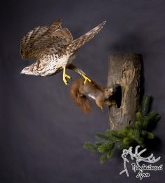 hawk squirrel taxidermy