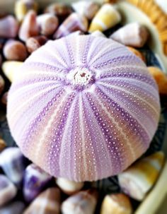the MOST amazing purple sea urchin shell! All Things Purple, Ocean Life, Shades Of Purple, Marine Life, Sea Creatures, Under The Sea, My Favorite Color, Sea Glass, Sea Shells