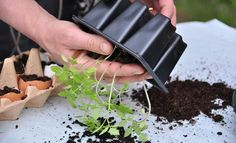 Udplantning af tomatplanter Grow Your Own, Herbs, Fish, Garden, Instagram Posts, Inspiration, Plant, Biblical Inspiration, Garten