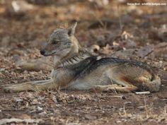 Gir Birding Lodge, Gir National Park, India -Golden Jackal