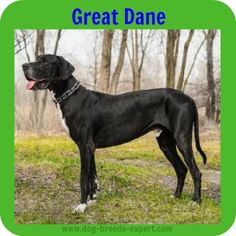 The Great Dane: Dog Breeds Expert Big Dogs, Large Dogs, Calm Dog Breeds, Black Lab Puppies, Corgi Puppies, Smelly Dog, Pet Sitting Business, Blue Great Danes, Black Labrador
