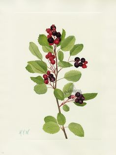 Walcott North American Wild Flower Prints 1925