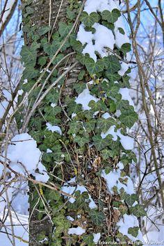 Edera, la prima a riapparire sotto la neve - http://www.erbaviola.com/2013/03/04/neve-che-si-scioglie-fili-di-paglia-che-arrivano-nellorto.htm