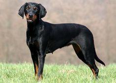 Austrian Black and Tan Hound, Österreichische glatthaarige Bracke, Brandlbracke #Dogs #Puppy