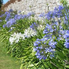 Agapanthes bleues : 2 bulbes et blanche : 1 bulbe Deco Floral, Houseplants, Shrubs, Planting Flowers, Beautiful Flowers, Home And Garden, Balconies, Green, Nature