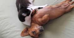What do you get when you put an over-excited puppy and a calm cat in the same room? A cute video, that's what! These two pet pals rely on each other to keep their emotions in check. Just watch how Liz Lemon the cat helps Penny the Dachshund relax! Funny Dachshund, Dachshund Love, Funny Dogs, Daschund, Excited Puppy, Hyper Dog, Relaxed Dog, Calming Cat, Cat Whisperer