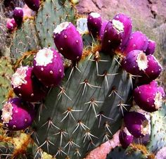 This showy Prickly Pear blooms orange flowers and bears loads of delicious…